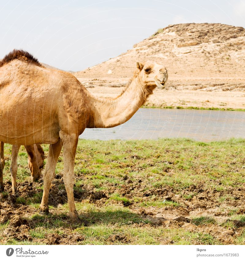 a free dromedary near the sea Eating Vacation & Travel Tourism Safari Beach Ocean Mouth Nature Plant Animal Sand Sky Lake Hair Hot Wild Brown Gray Black White