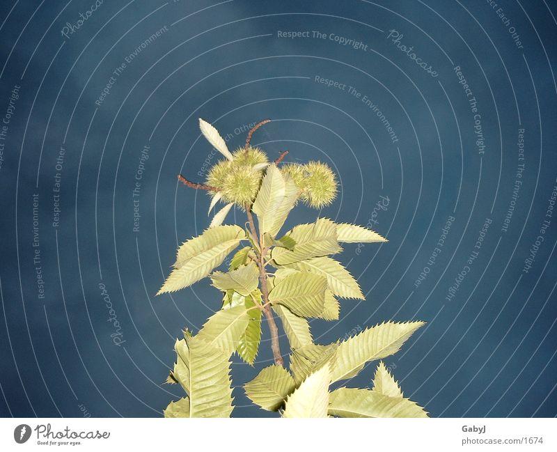 Sky Green Blue Leaf Lamp Dark Chestnut tree Sweet chestnut