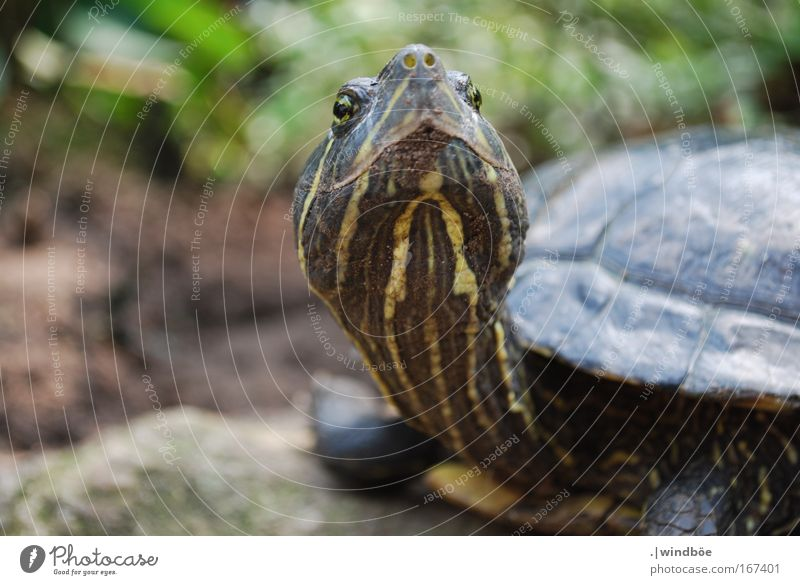 stuck-up Colour photo Exterior shot Close-up Deserted Day Central perspective Long shot Animal Animal face Scales Zoo Turtle 1 Old Curiosity Brown Yellow Green