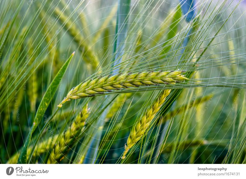Field Nutrition Joie de vivre (Vitality) Agriculture Organic produce Harvest Grain Vegetarian diet Cornfield Wheat Rye Raw materials and fuels Wheatfield