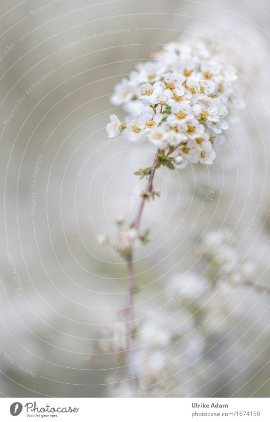Spier shrub (Spiraea x vanhouttei) Nature Plant Summer Bushes Blossom Foliage plant spar bush Hedge Garden Park Blossoming Fragrance Beautiful Soft White