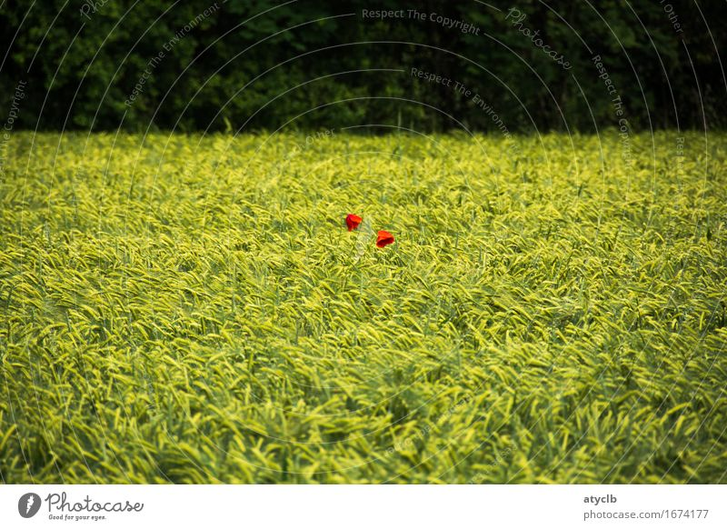 2 dots red Grain Nutrition Environment Nature Landscape Spring Plant Agricultural crop Field Forest Contentment Love Environmental protection Colour photo