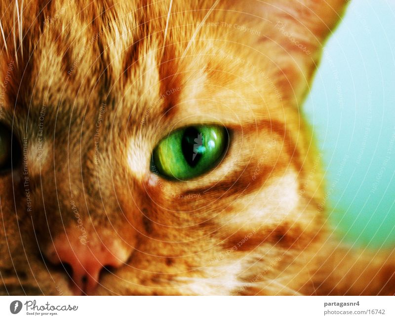 Eyes Cat Domestic cat
