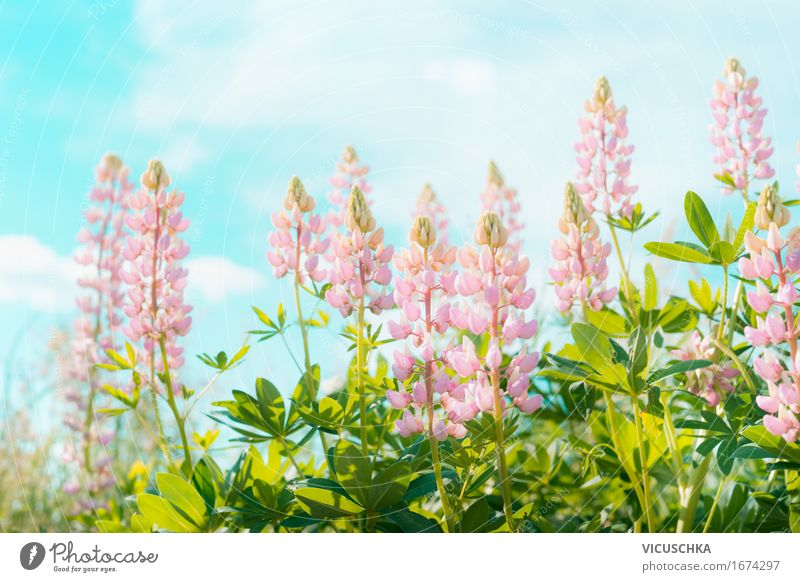 Pink lupines flowers over sky Lifestyle Design Vacation & Travel Summer Garden Nature Landscape Plant Sky Sun Sunlight Beautiful weather Flower Leaf Blossom