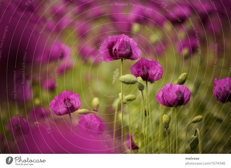poppy field Poppy Elegant Style Nature Plant Summer Beautiful weather Blossom Wild plant Poppy blossom Poppy field poppy seed capsules flowering plants