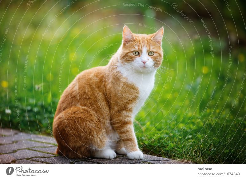 1A Note Posture Elegant Style Summer Grass Flower meadow Garden Animal Pet Cat Animal face Pelt Paw Domestic cat Mammal Animal portrait in pose