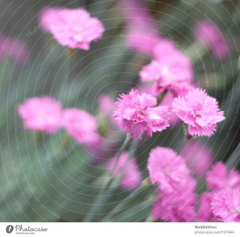 communistic fade away Blur Environment Nature Plant Flower Blossom Foliage plant Dianthus Russia Cuba north korea China Vietnam Laos Blue Green Pink Solidarity