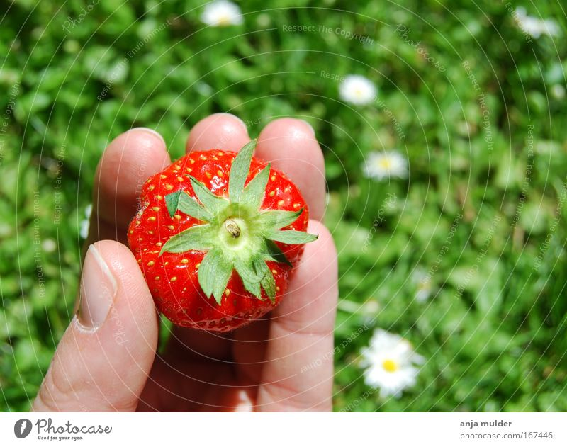 strawberry Nature Green Hand Summer Red Sun Grass Eating Park Fruit Food Fresh Fingers Beautiful weather Threat To enjoy