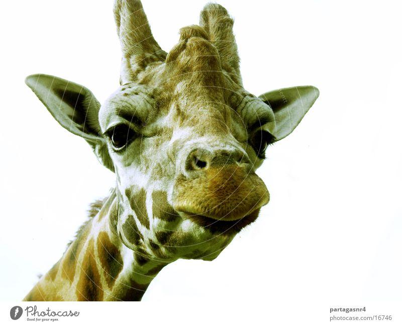 giraffe Funny Giraffe animal portrait