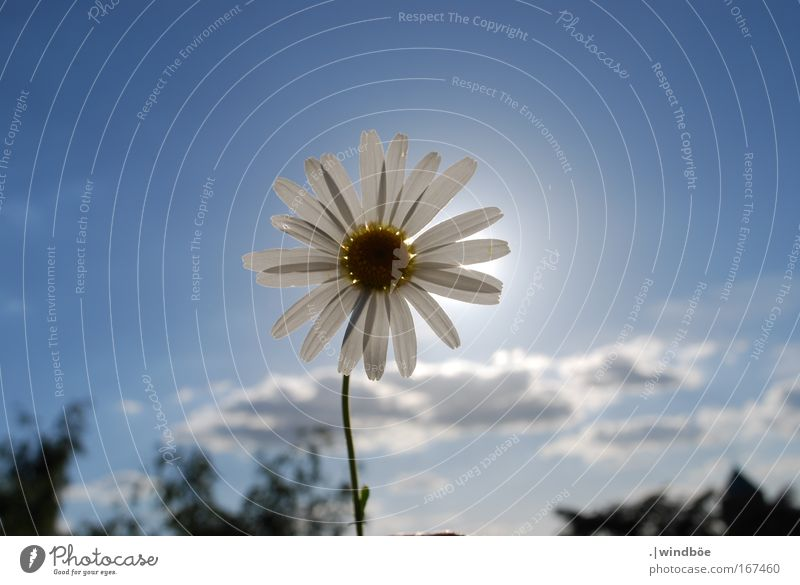Nature Sky White Flower Blue Plant Summer Calm Clouds Loneliness Yellow Relaxation Blossom Spring Happy Gray