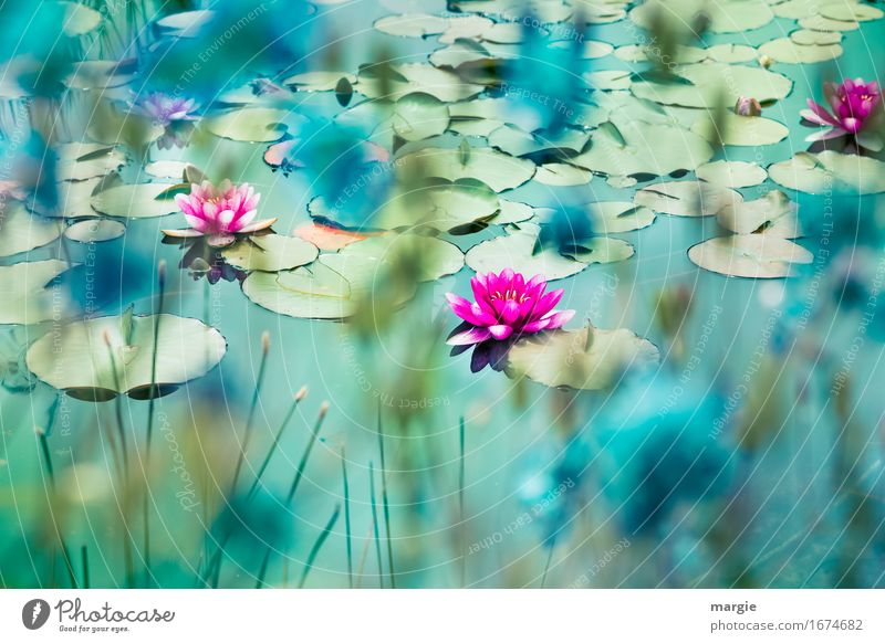Beautiful water lilies on a pond Nature Plant Flower pink Garden Pond Brook River Pink Turquoise Water lily Water lily leaf Water lily pond Shore of a pond