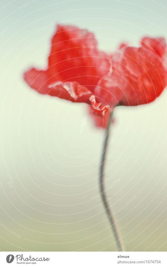 poppy day Blossom Poppy blossom Stalk Stylistic Flame Fire Wrinkles Folds String Blood Blood stain Blossoming Thin Elegant Eroticism Red Willpower Romance