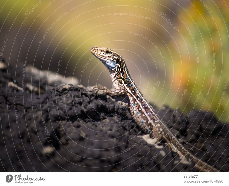 heat Environment Nature Animal Earth Summer Rock Rock formation Wild animal Scales Claw Reptiles Zoology Saurians Lizards 1 Observe To enjoy Hunting Exotic