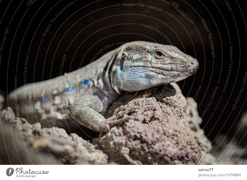 sunbathe Nature Animal Earth Sun Warmth Rock Wild animal Animal face Scales Reptiles Lizards 1 Swimming & Bathing To enjoy Crawl Bright Speed Blue Brown Gray