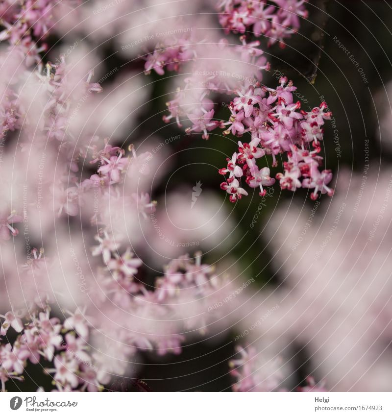 pink blossom dream... Environment Nature Plant Spring Bushes Blossom Elder Elderflower Garden Blossoming Growth Esthetic Exceptional Beautiful Uniqueness Small