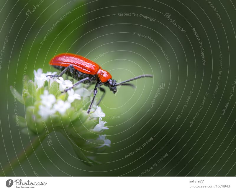 bright red Nature Plant Animal Spring Summer Blossom Garden Wild animal Beetle Lily beetle Insect Destructive weed 1 Crawl Glittering Gray Red Colour To enjoy