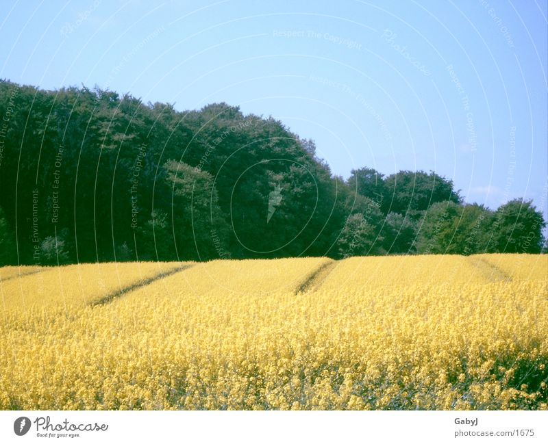 Sky Summer Yellow Line Field Agriculture Build Furrow Schleswig-Holstein Splendid Canola field Oilseed rape oil