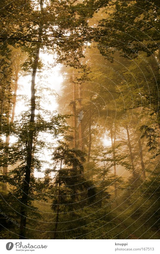 golden forest Environment Nature Plant Elements Fog Tree Forest Exceptional Threat Dark Brown Green Mysterious Enchanted forest Enchanted wood Eerie Surrealism