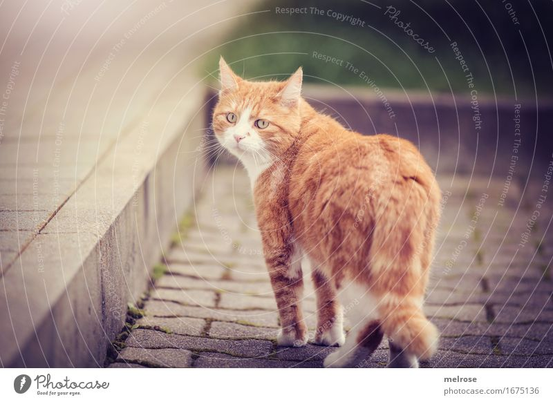 weekend departure Elegant Style Garden Animal Pet Cat Animal face Pelt Paw 1 Stairs Memory Paving stone Observe Movement Going Looking Brash Beautiful Cuddly