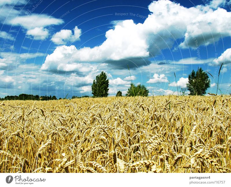 Sky Summer Clouds Mature Harvest Grain Agriculture