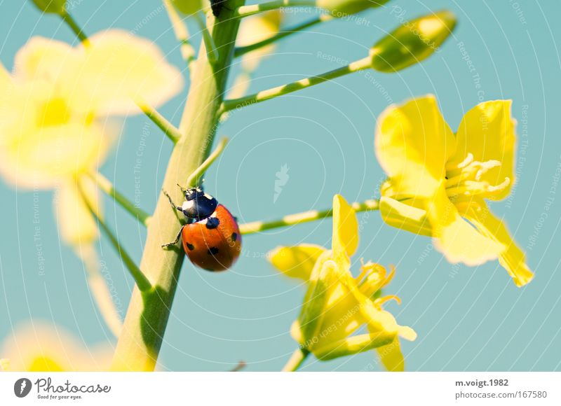 Ladybird IV Colour photo Close-up Detail Macro (Extreme close-up) Deep depth of field Nature Plant Animal Cloudless sky Spring Summer Blossom Canola Beetle 1