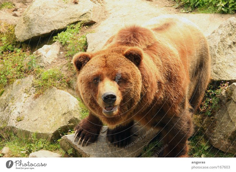 eye contact Colour photo Exterior shot Day Sunlight Bird's-eye view Looking Zoo Bear 1 Animal Stone Observe Muscular Beautiful Brown Pride Power Elegant