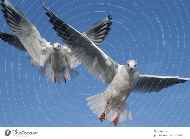 On approach Animal Wild animal Bird Wing Seagull 2 Flying Together Blue White Colour photo Exterior shot Day Animal portrait Looking into the camera