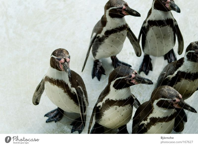 Dance of the Penguins Colour photo Exterior shot Copy Space left Copy Space top Neutral Background Day Central perspective Animal portrait Ice Frost Park