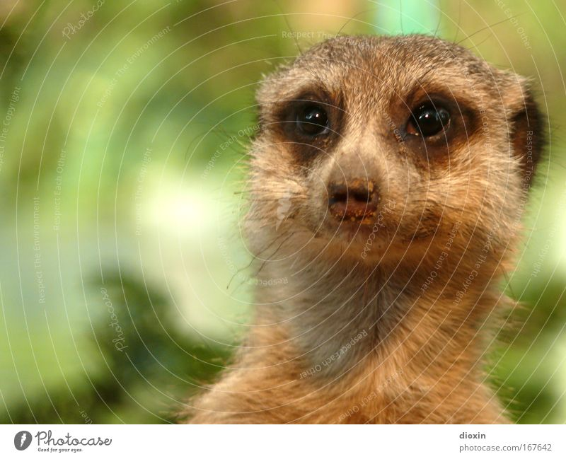 Take a look at this... (Suricata suricatta) Colour photo Deserted Copy Space left Shallow depth of field Animal portrait Forward Environment Nature Earth