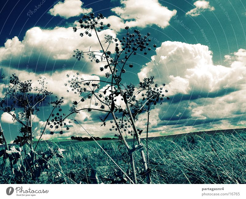 Sky Clouds Grass Blossom Apiaceae
