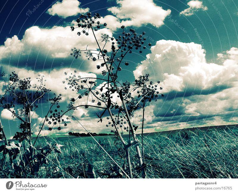 sky like blue jeans Apiaceae Clouds Grass Sky