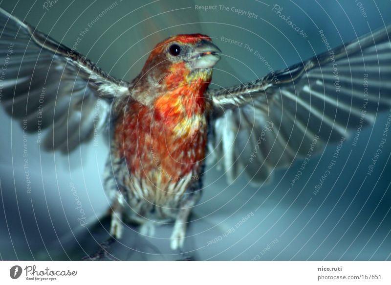Balcony Phoenix Twilight Motion blur Looking into the camera Air Bird Wing Flying Curiosity Cute Fear House Finch Carpodacus mexicanus Flee Escape Cause a stir