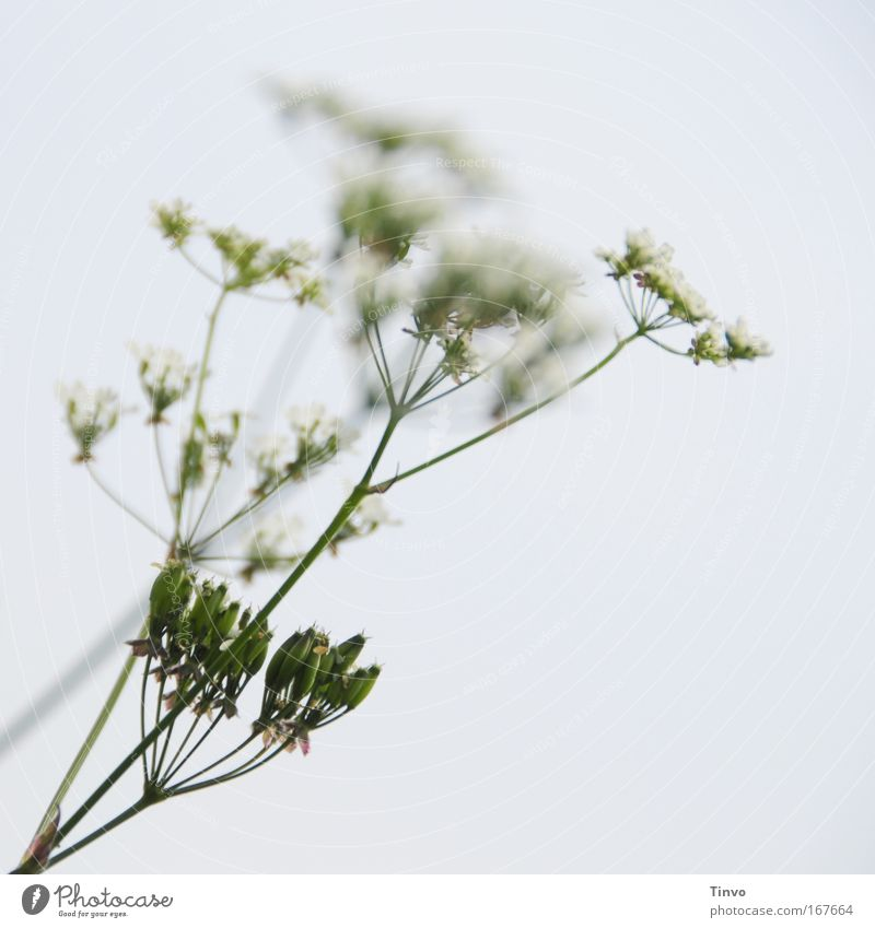 Nature White Plant Blossom Spring Bright Healthy Herbs and spices Daisy Family Medicinal plant Wild plant Common Yarrow