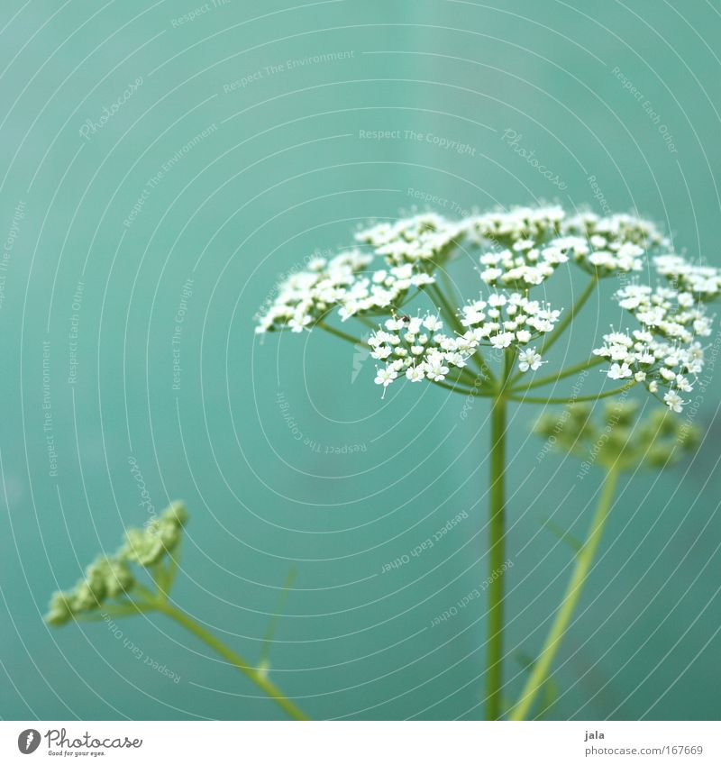 Nature White Flower Green Plant Meadow Blossom Park Field Turquoise Spring fever Medicinal plant Wild plant Weed Chervil