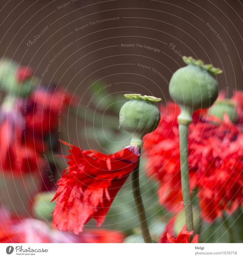 opium poppy Environment Nature Plant Spring Beautiful weather Flower Blossom Poppy Poppy blossom Seed Stalk Blossom leave Garden Blossoming Stand Growth
