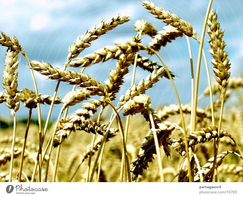 Summer Yellow Grain Mature Harvest Grain Agriculture