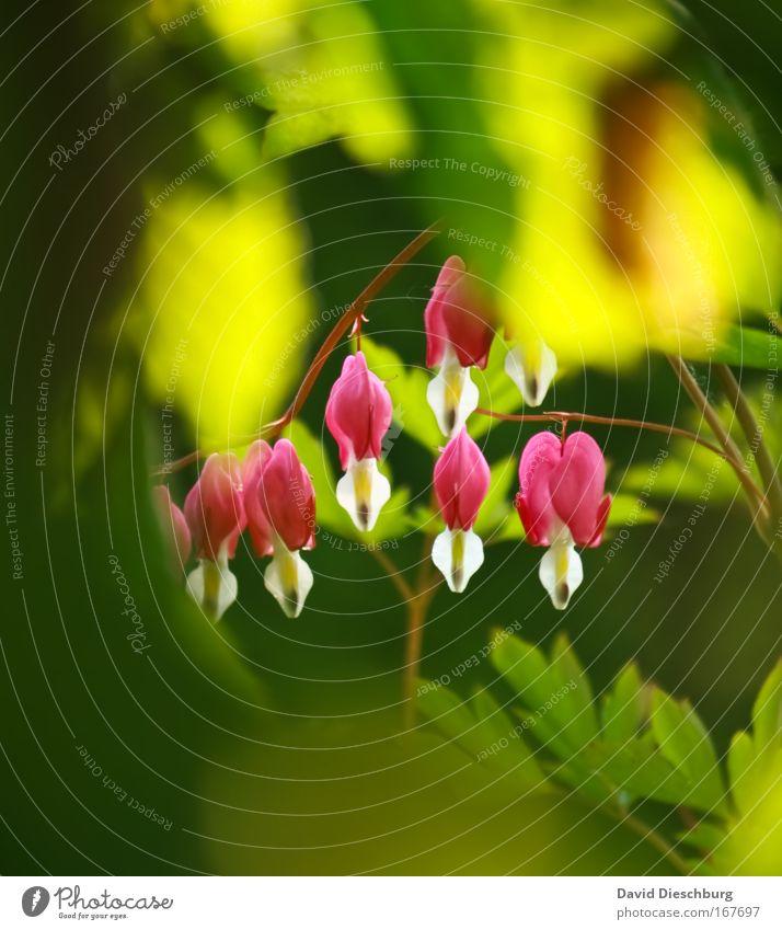 Nature Green Beautiful Summer Plant Environment Spring Blossom Pink Multiple Illuminate Bushes Blossoming Fragrance Hang Exotic
