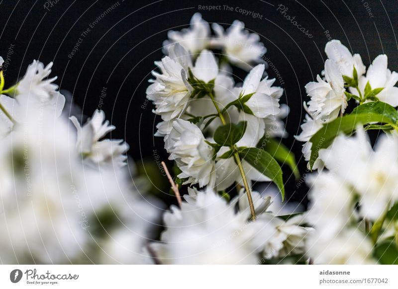 jasmine Plant Summer Foliage plant Agricultural crop Garden Park Contentment Joie de vivre (Vitality) Attentive Caution Serene Calm Jasmine Tea Blossom Bushes