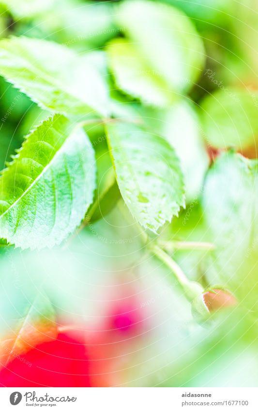Plant Summer Beautiful Water Flower Leaf Love Rain Contentment Wet Romance Drop Rose Bad weather