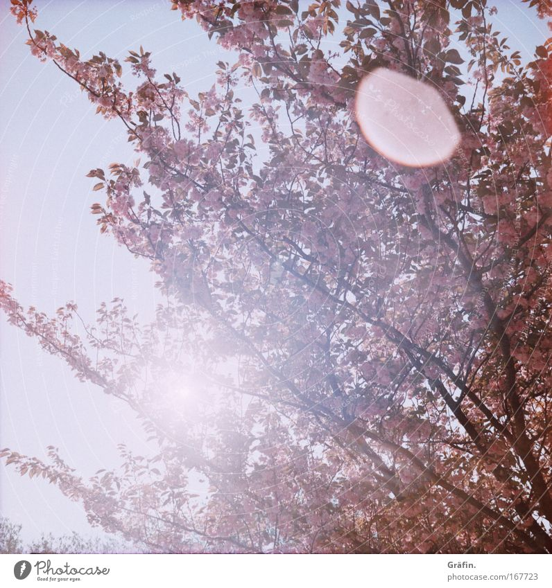 Nature Tree Blossom Spring Pink Growth Kitsch Branch Fragrance Lomography Treetop Twig Ease Sunspot