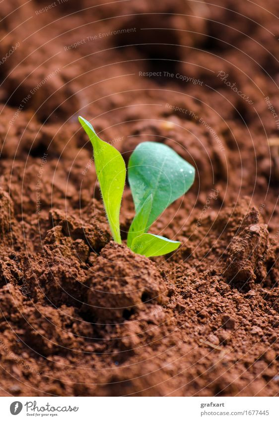 Young green plant on red field Plant New Fresh Field Red Earth Agriculture Birth Shoot Germ Nature Botany Beginning youthful Sowing Leaf Green Growth Optimism