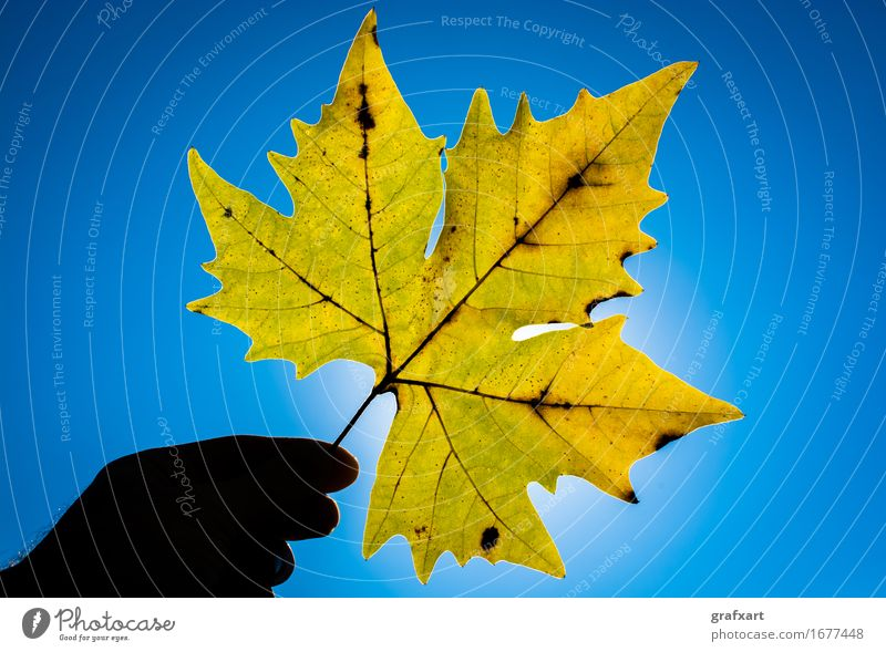 Yellow maple leaf in sunlight Leaf Autumn Maple tree American Sycamore Plant Hand Sky Sun Sunlight Rachis Lighting Blue Transparent Nature Seasons Tree