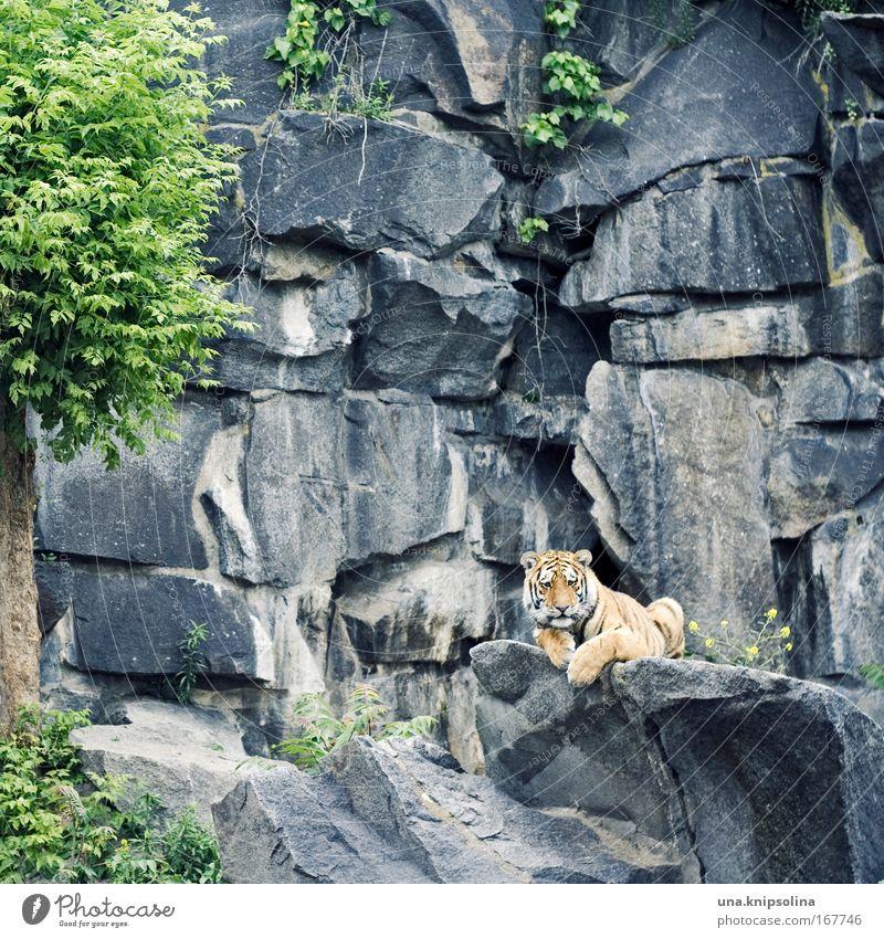 Cat Green Tree Animal Yellow Gray Rock Lie Wild animal Cute Observe Curiosity Zoo Striped Tiger Safari