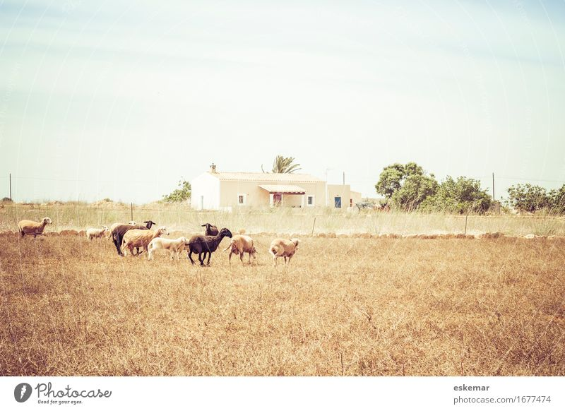 Sheep, Formentera Vacation & Travel Tourism House (Residential Structure) Environment Nature Landscape Animal Sky Sunlight Spring Summer Beautiful weather Field