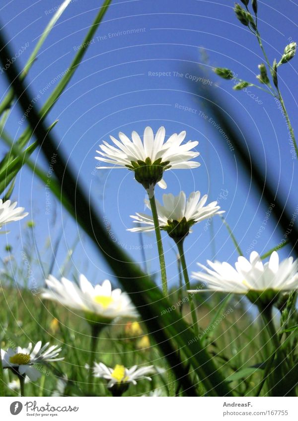 Nature Sky Flower Green Blue Plant Blossom Grass Environment Climate Daisy Worm's-eye view Flower meadow Blue sky