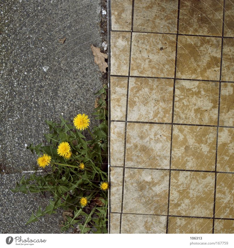 Photo number 123412 Asphalt Lanes & trails Plant Dandelion Yellow Flower Direct optical illusion Escape Street Growth Stone Concrete Edge Medicinal plant Weed