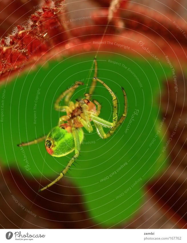 Nature Green Red Animal Bright Fear Large Crazy Wild animal Disgust Spider Aggression Spider's web Spin
