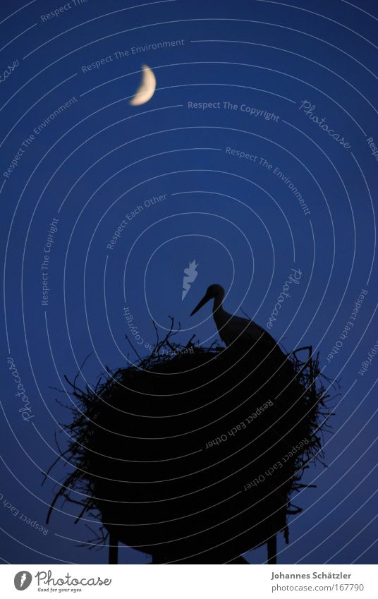 Animal Bird Above Tall Large Observe Moon Beak Chimney Build Night sky Feeding Stork Moonlight Rutting season Nest-building