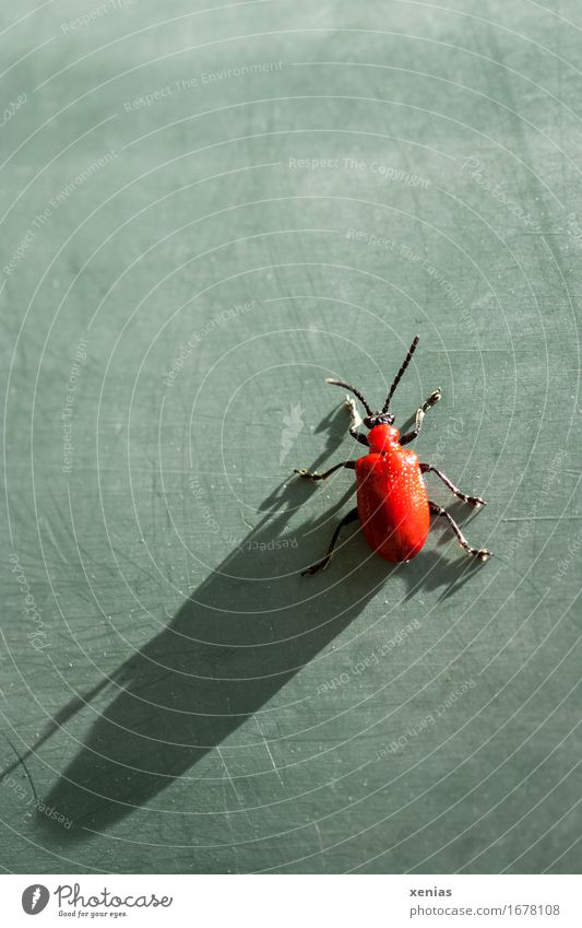 Lily chicken with long shadow on green area leaf beetle Lily beetle Beetle Shadow Grand piano Feeler 1 Animal Green Red Black Shadow play Leg of a beetle