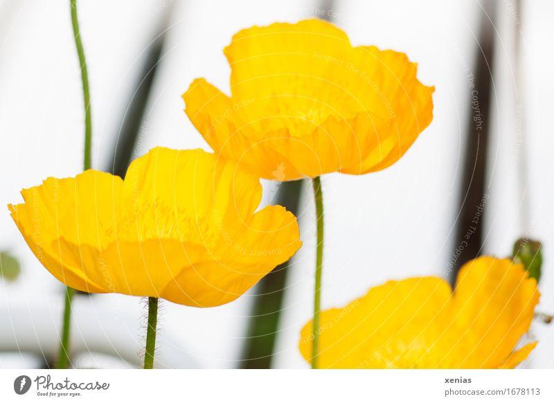Three yellow poppy flowers Poppy blossom Blossom Iceland poppy 3 Plant Spring Summer Flower Park Thin Yellow Green Black White Stripe Line Close-up